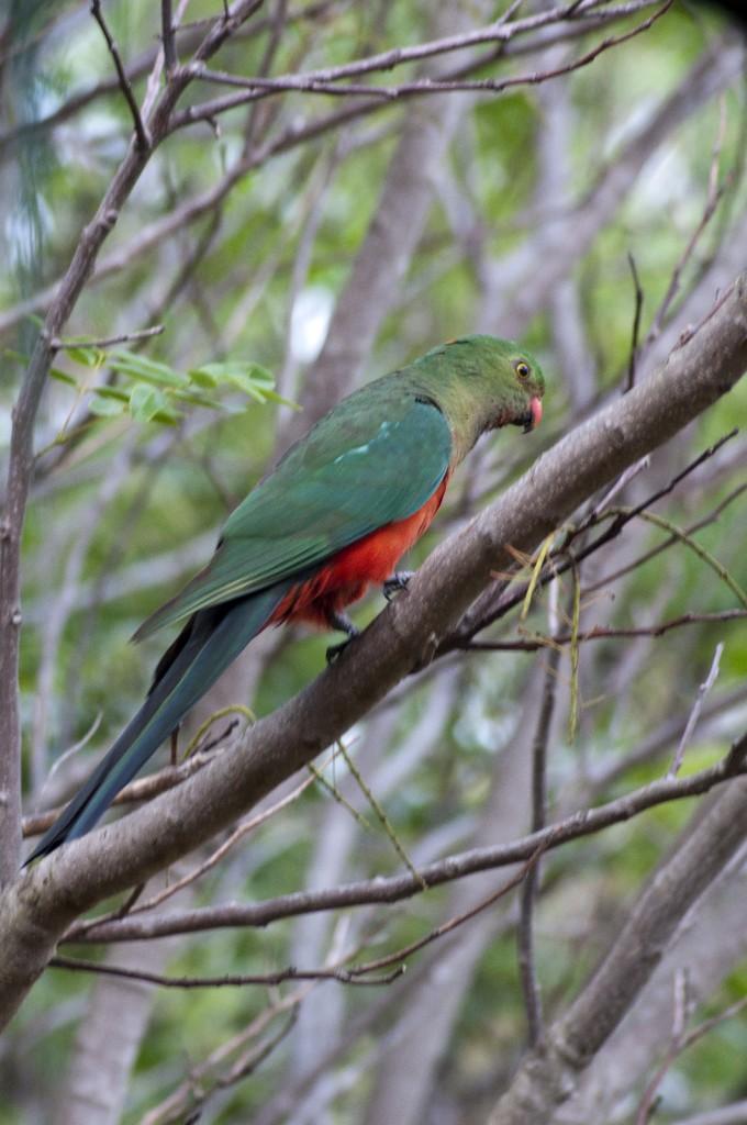 Australian King Parrot - Female