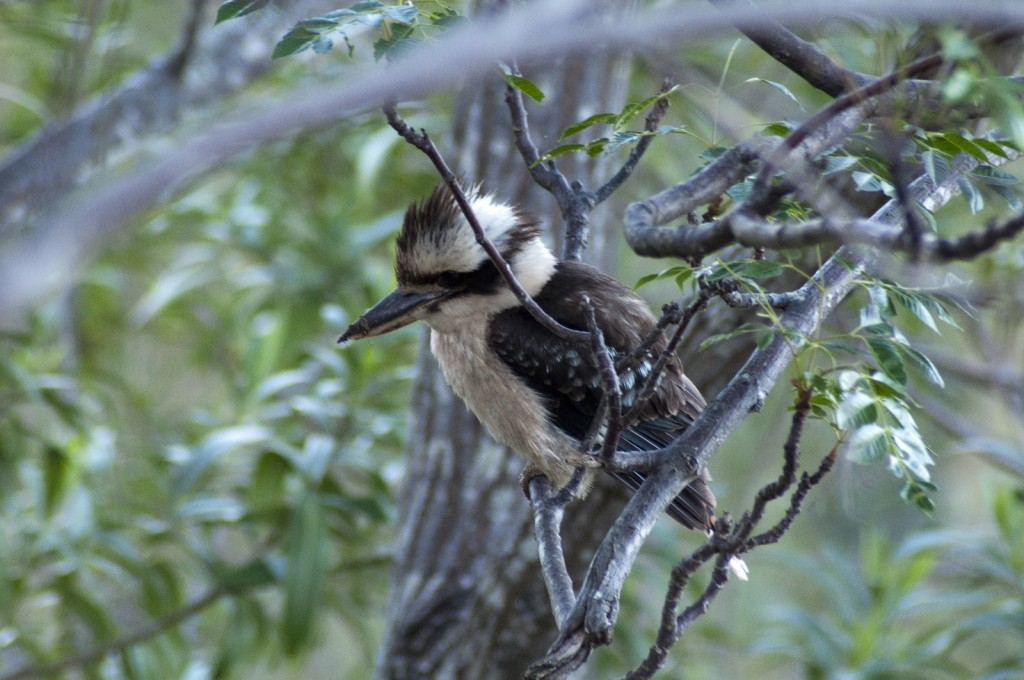 Kookaburra-juvenile-in-tree