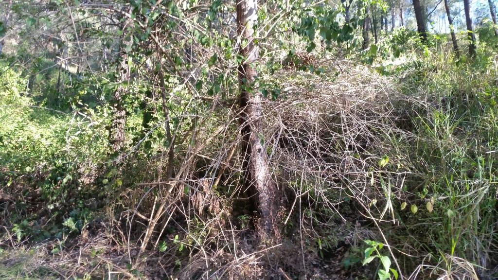 Lantana-around-native-trees