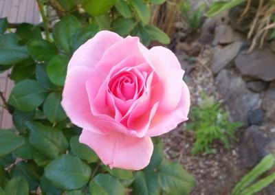 Rose-amongst-the-natives