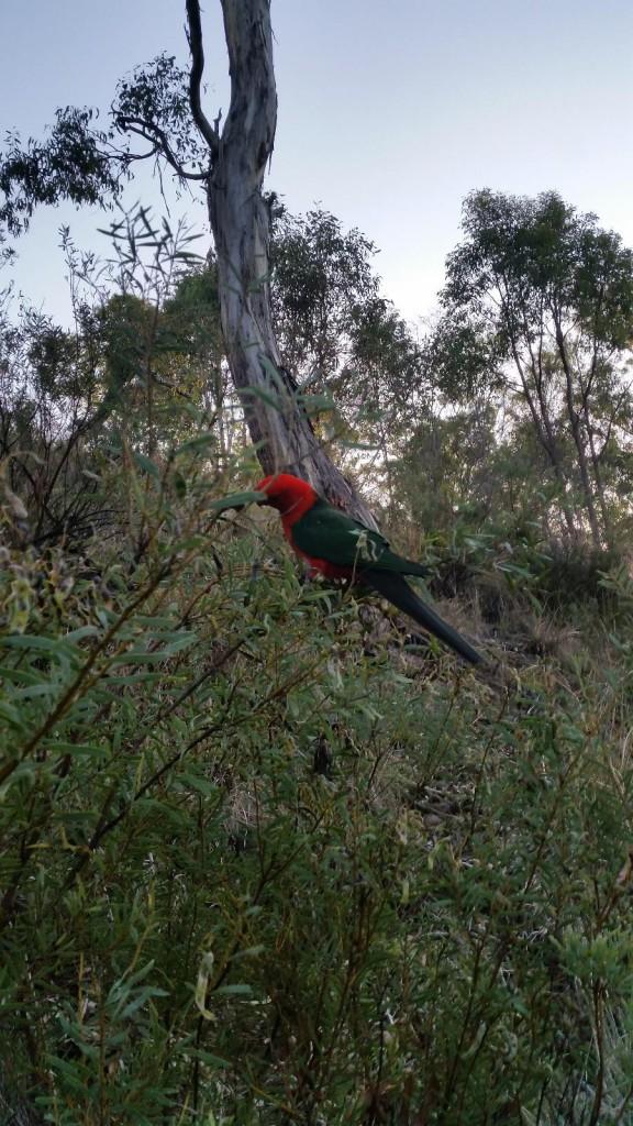 King Parrot Acacia