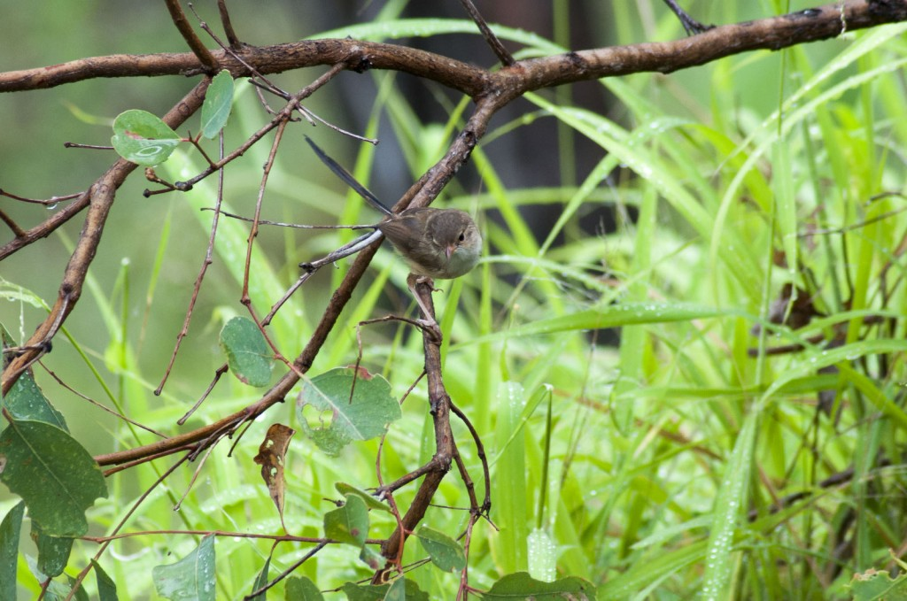 Red-backed Fairy Wren - Female