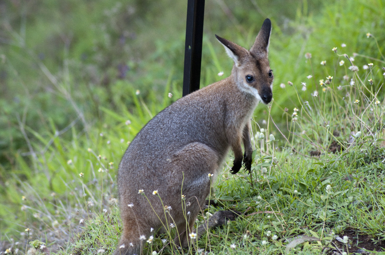Red Necked Wallaby Living Off The Edge