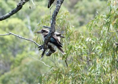 Double-headed kookaburra