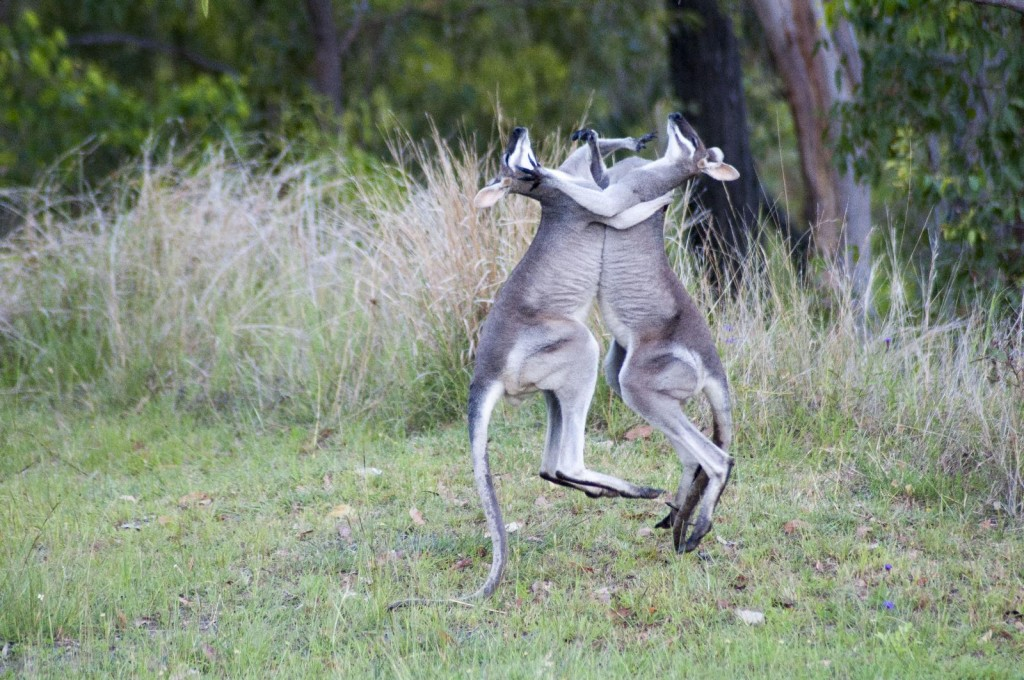 Battling Wallabies