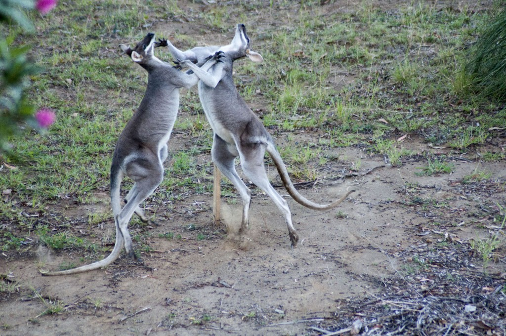 Fighting Wallabies