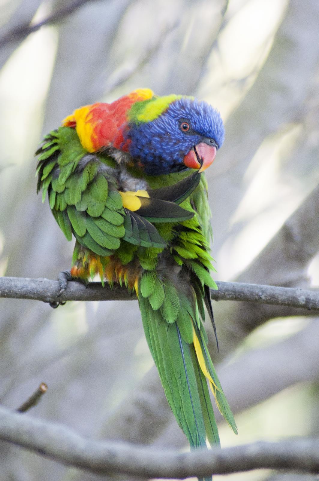 Rainbow Lorikeet Trichoglossus Haematodus Living Off