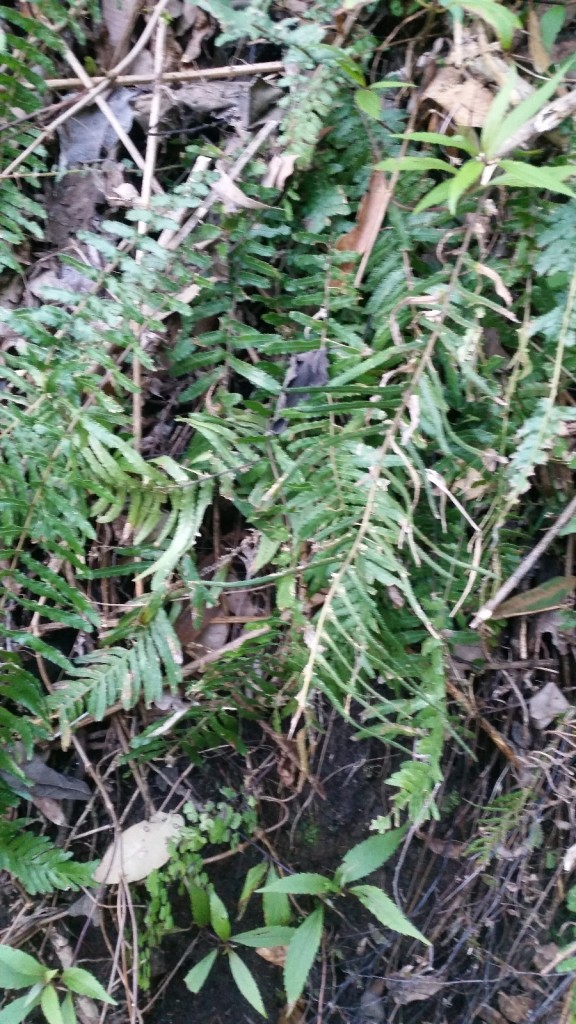 Prickly Rasp Fern - Doodia australis