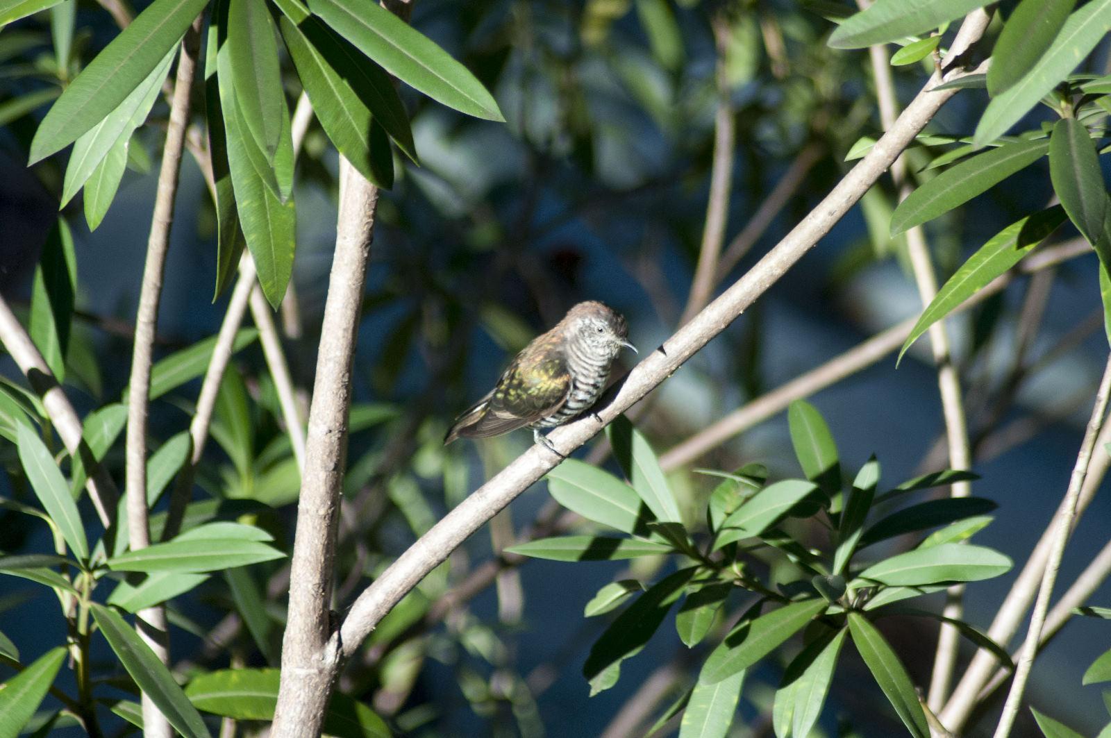 Shining Bronze-cuckoo