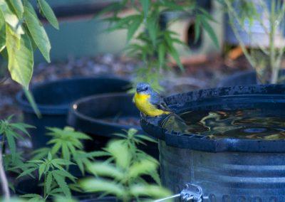 Eastern-Yellow-Robin-04