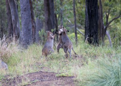 Fighting-Red-necked-wallabies