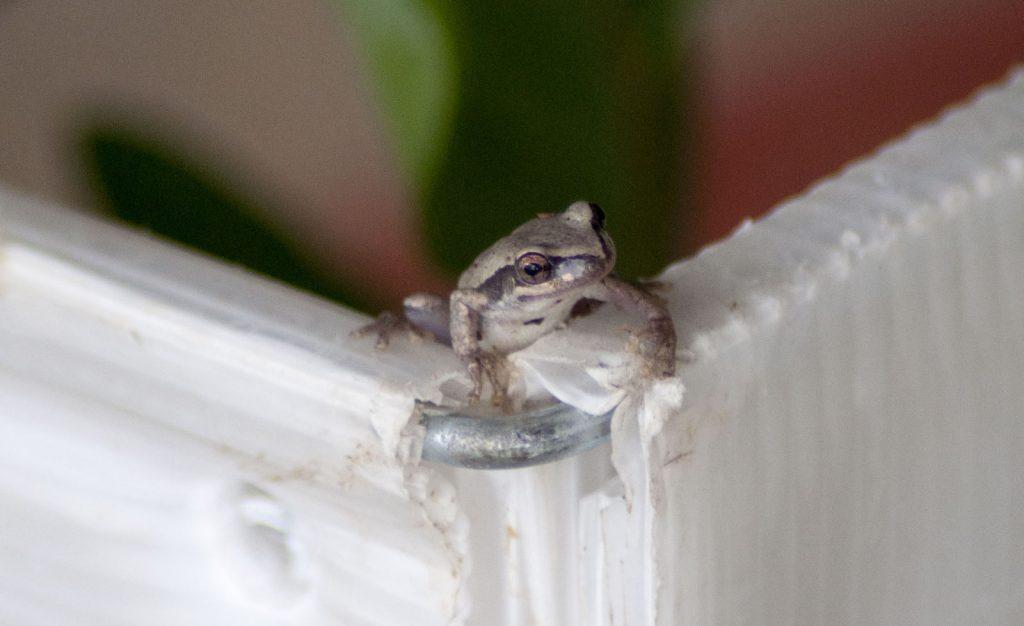 Juvenile Green-thighed Frog