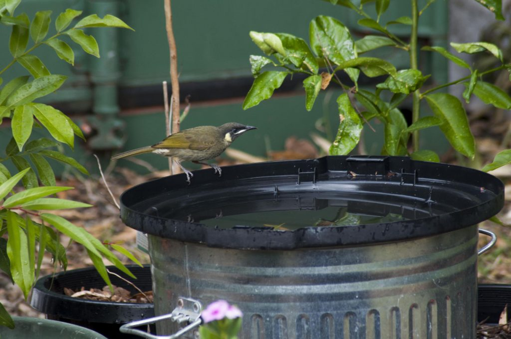 Lewins Honeyeater at the bird bath