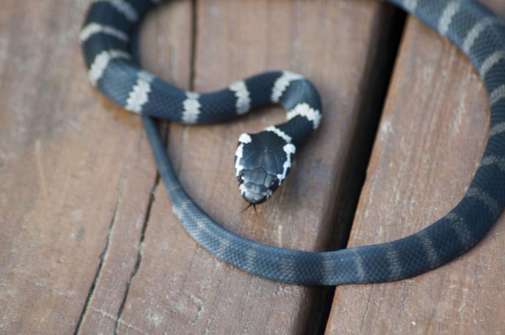 Stephens' Banded Snake - Juvenile