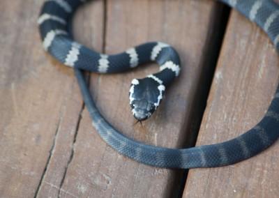 Stephens' Banded Snake