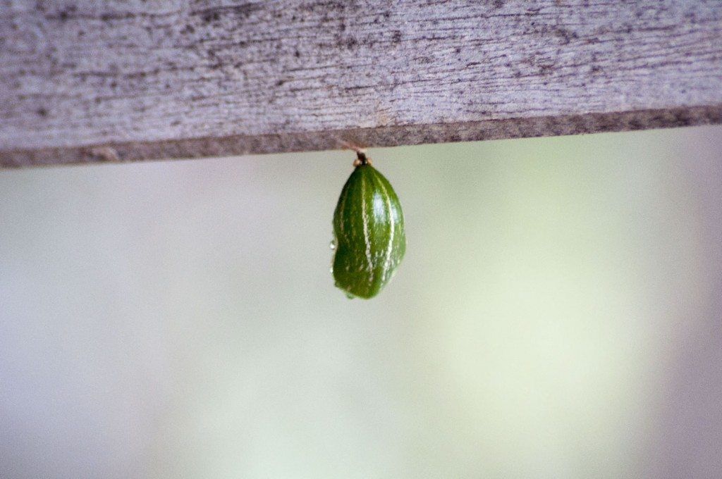 Tailed Emperor(butterfly) chrysalis