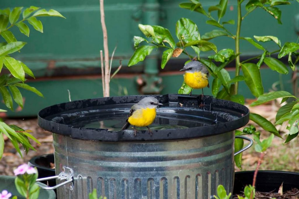 Eastern Yellow Robins