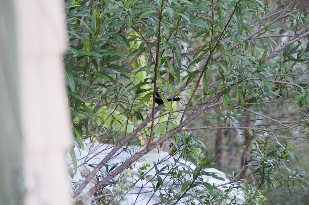 Eastern Whipbird - Close to the house but hidden in the Oleander.
