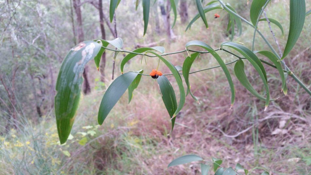 Wombat Berry - Eustrephus latifolius