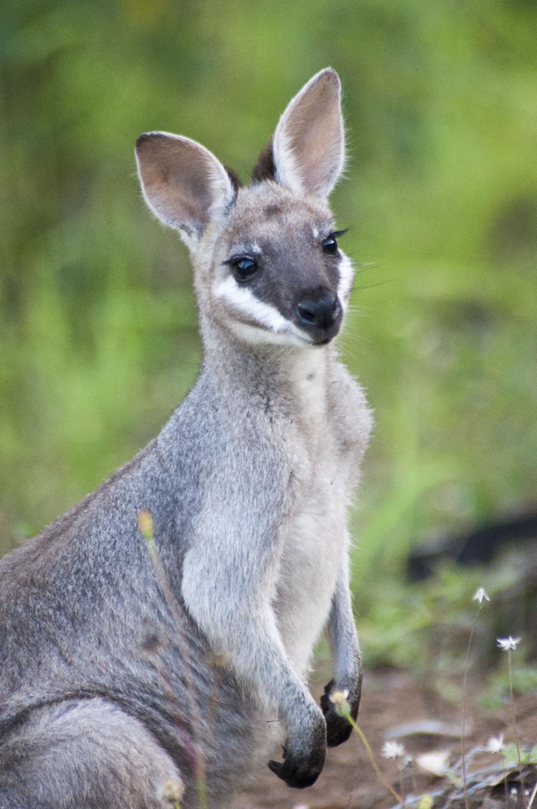 Pretty-faced(Whiptail) Wallaby