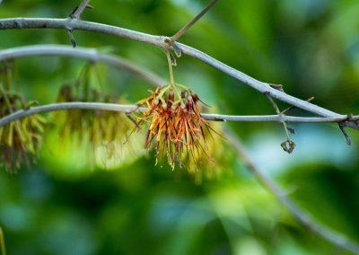 Amyena congener - Flower