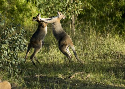 Fighting Pretty-Faced Wallabies