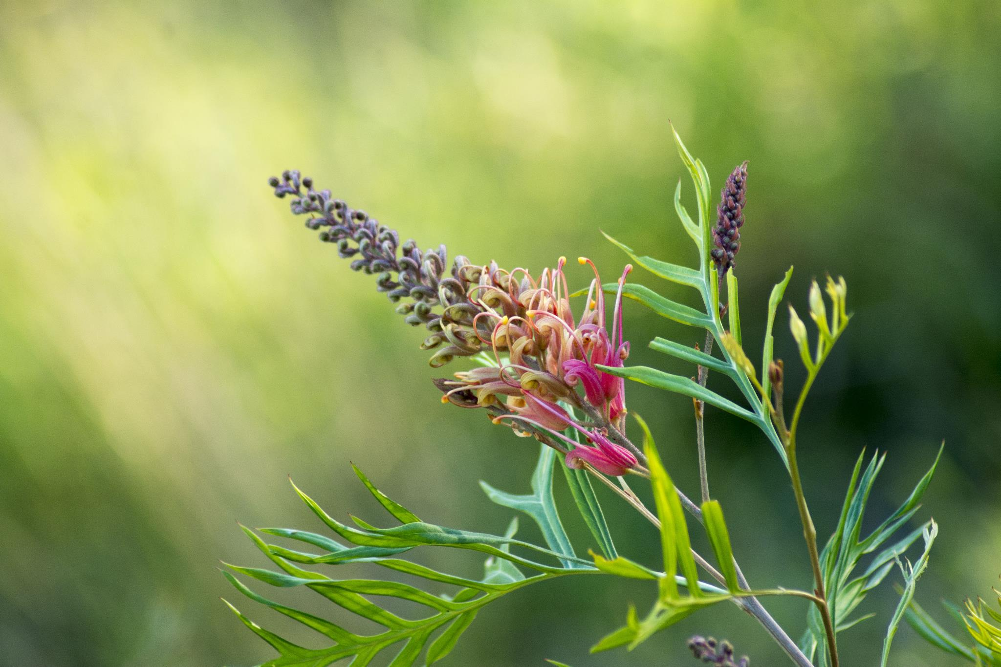 Grevillea Superb Flower - Close Up