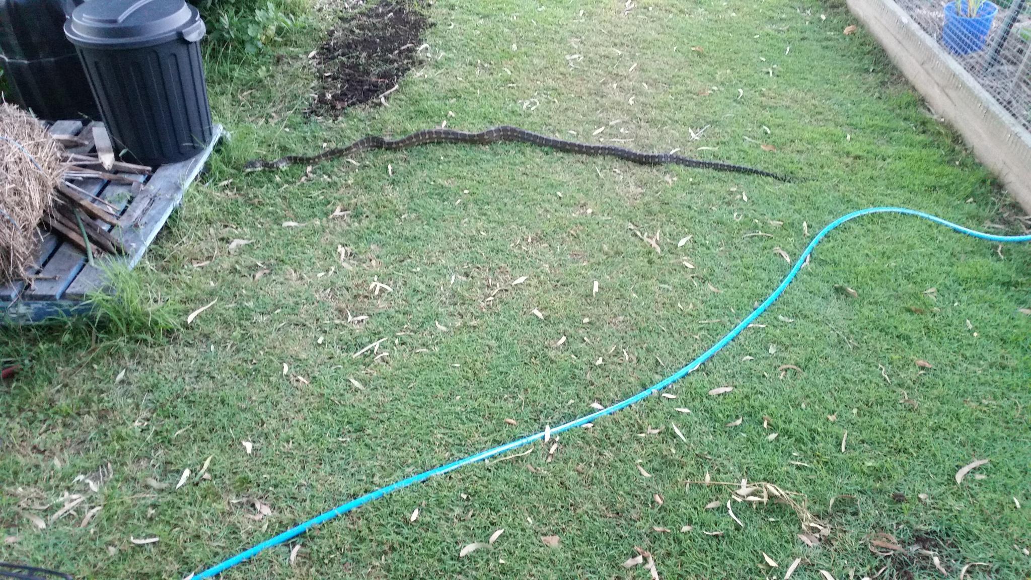 Carpet snake near our plot level compost.