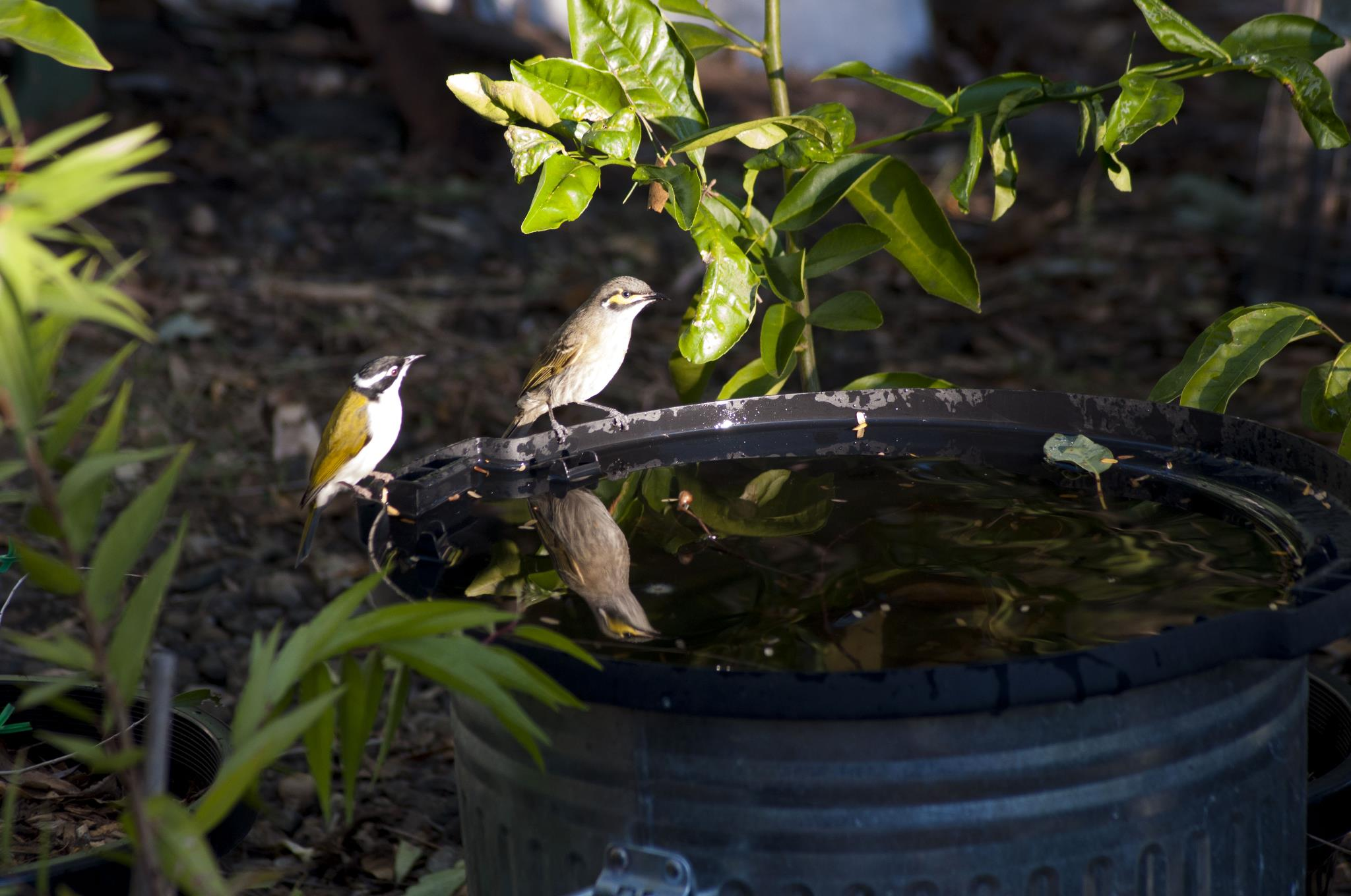 White-throated Honeyeater and Yellow-faced Honeyeater