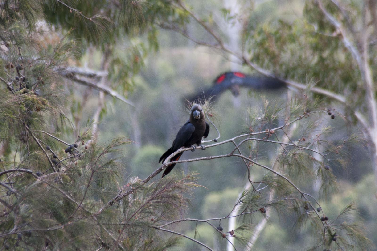 Glossy Black Cockatoo