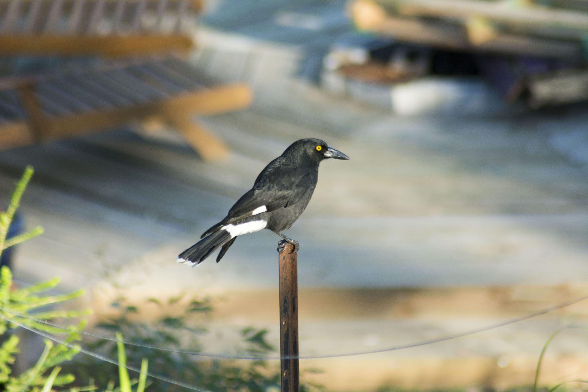 Pied Currawong - Sitting on a star picket