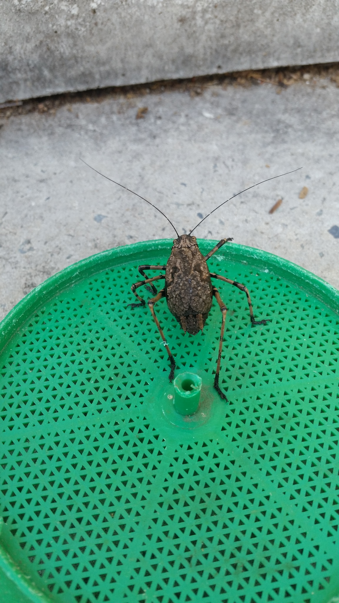 Mountain Katydid