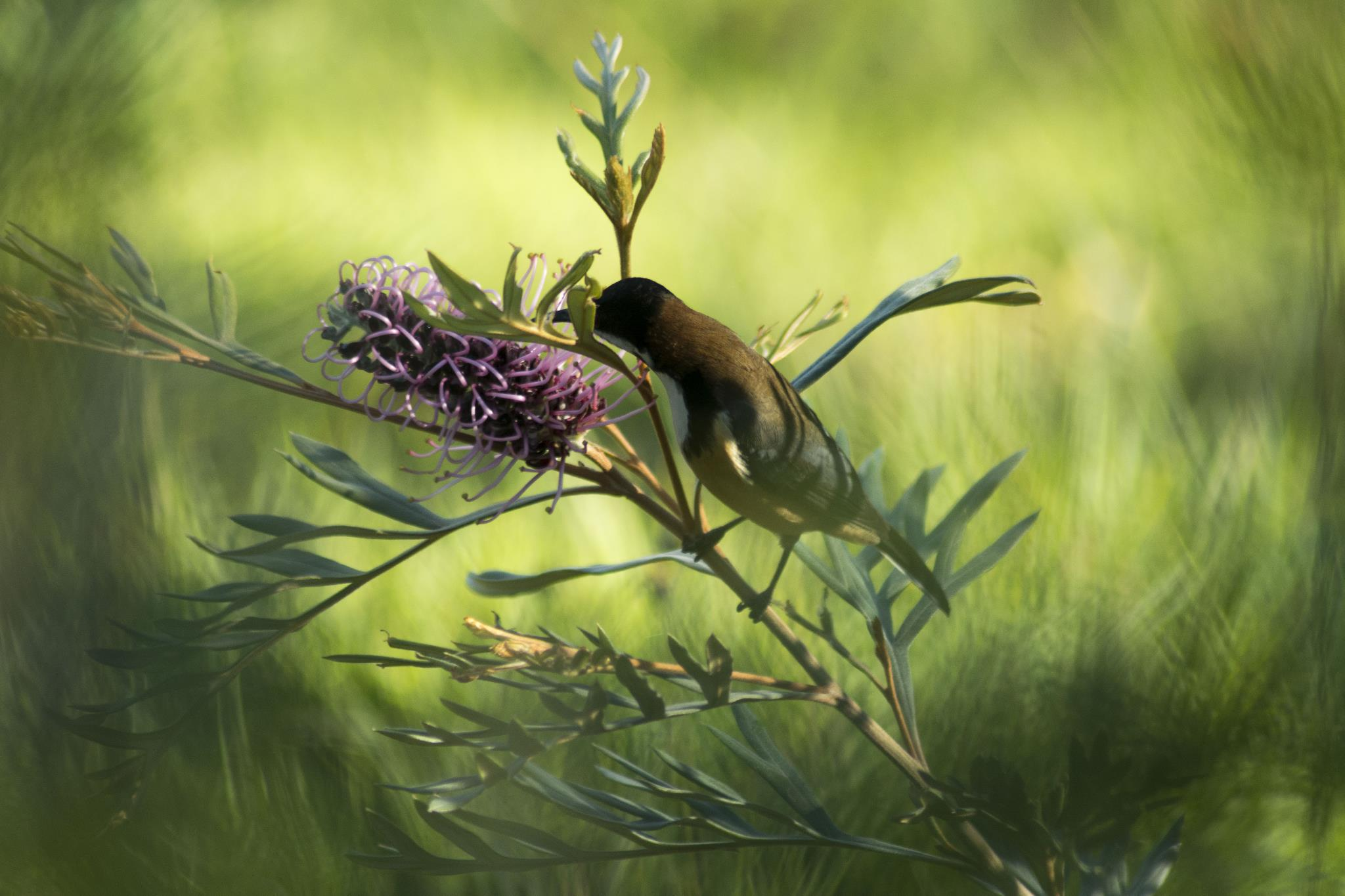 Eastern Spinebill on our Grevillea 'Dorothy Gordon'