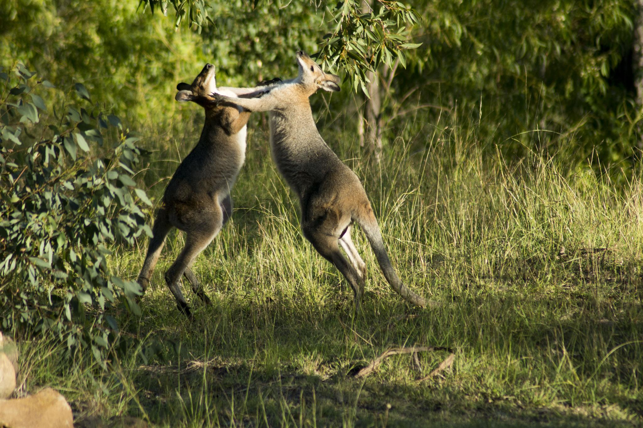 Fighting Red-Necked-Wallabies