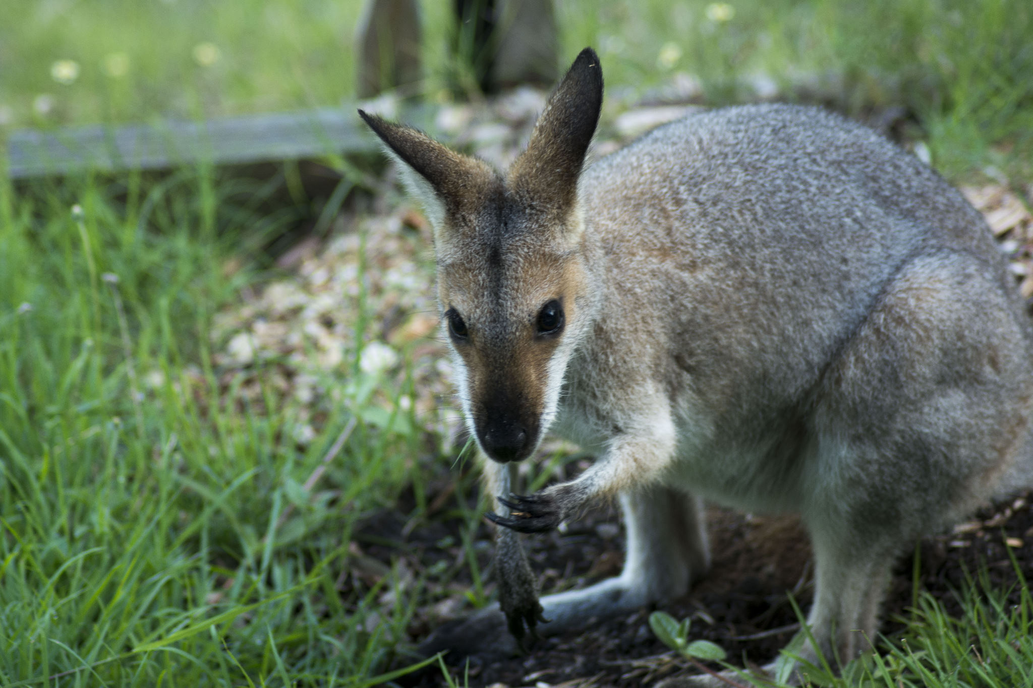 Georgie - Our visiting Red-necked Wallaby