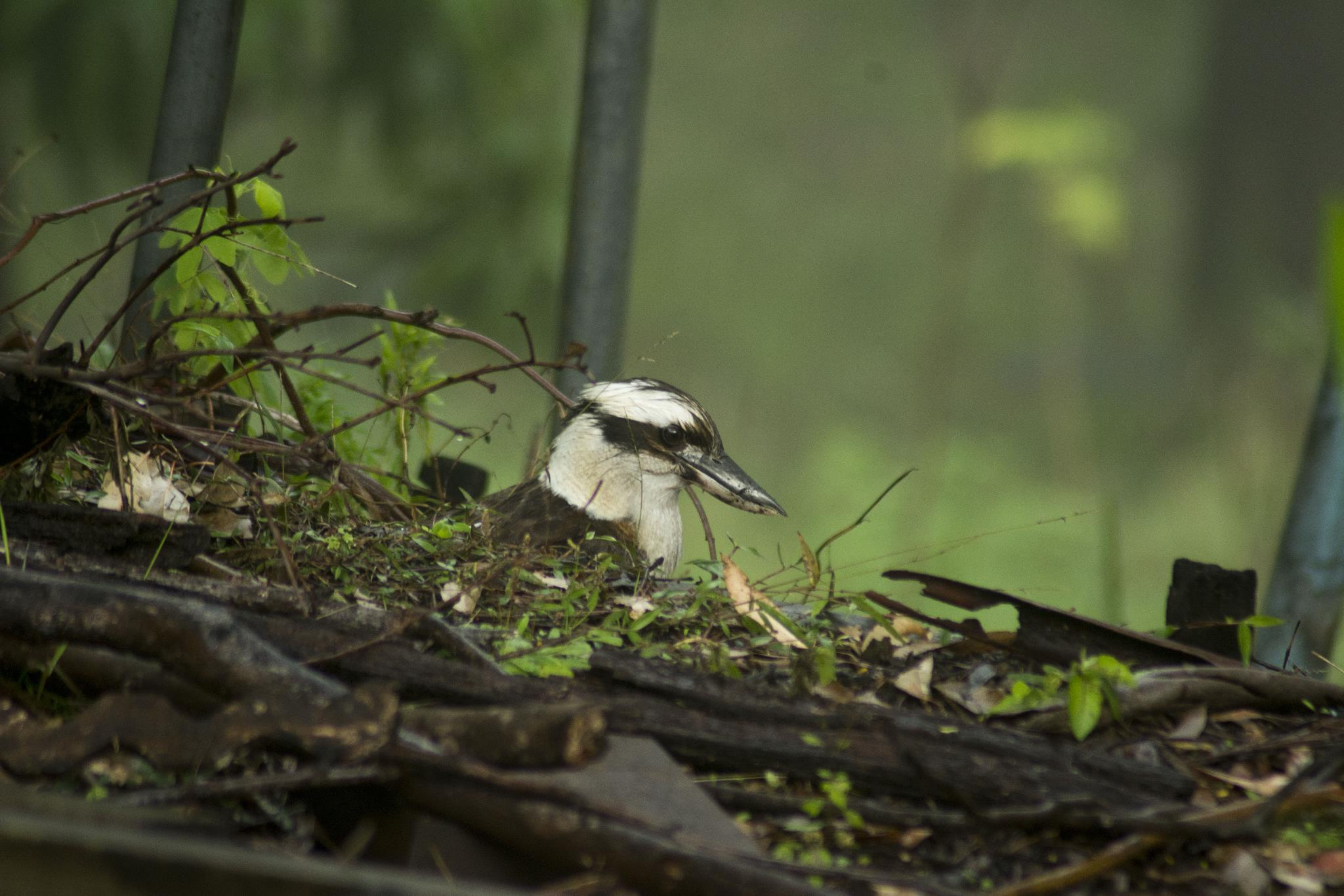 Laughing Kookaburra hunting in the wet