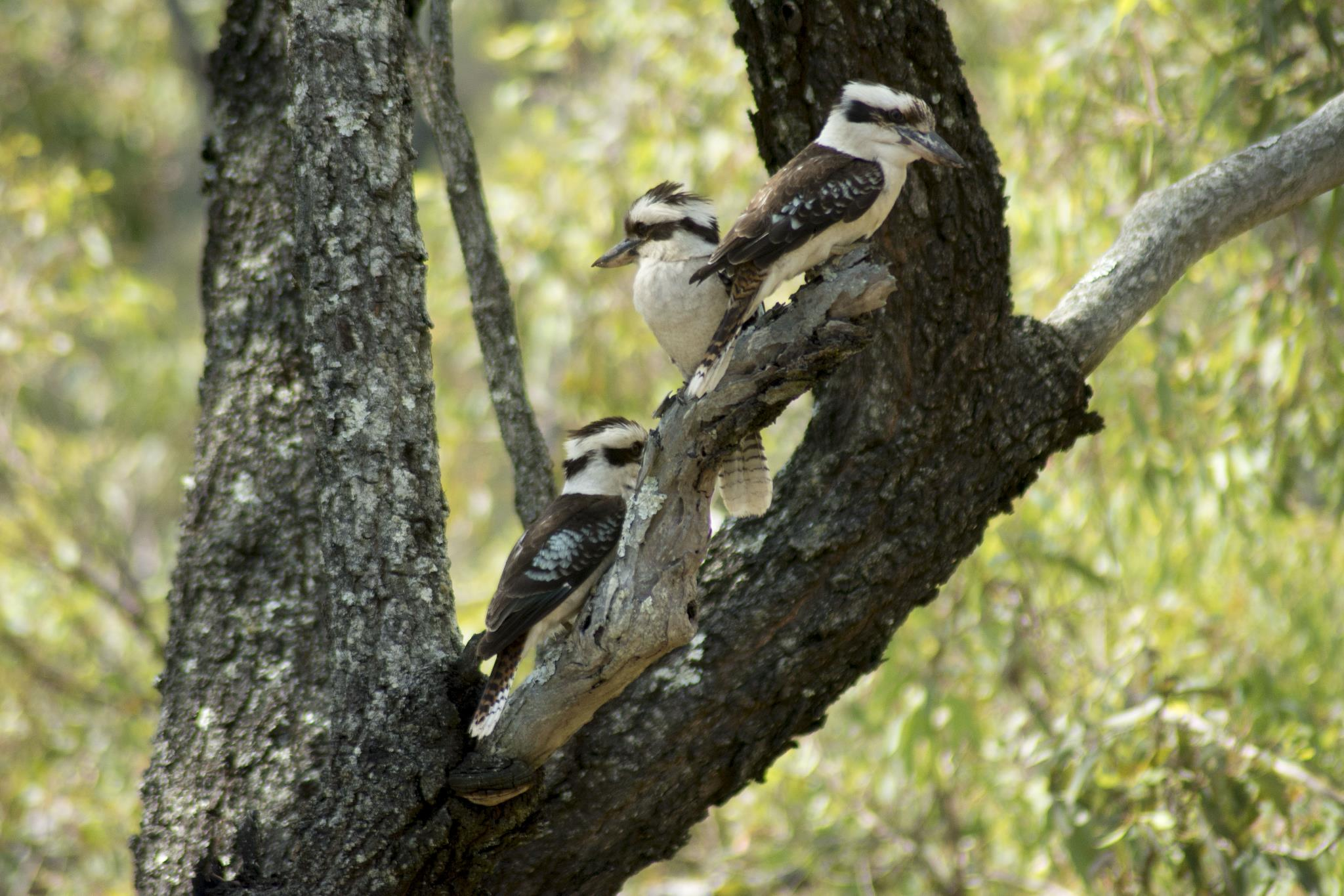 The local Laughing Kookaburra family