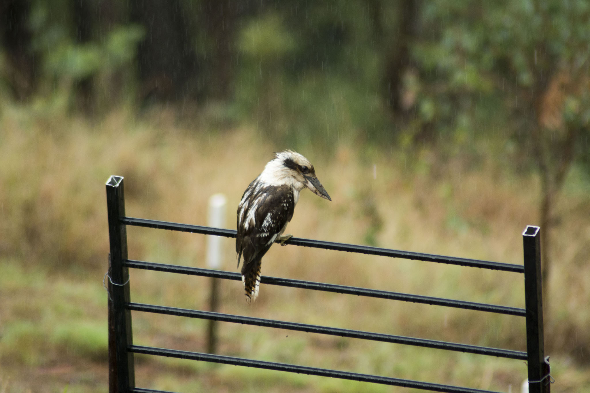 Laughing Kookaburra in the rain