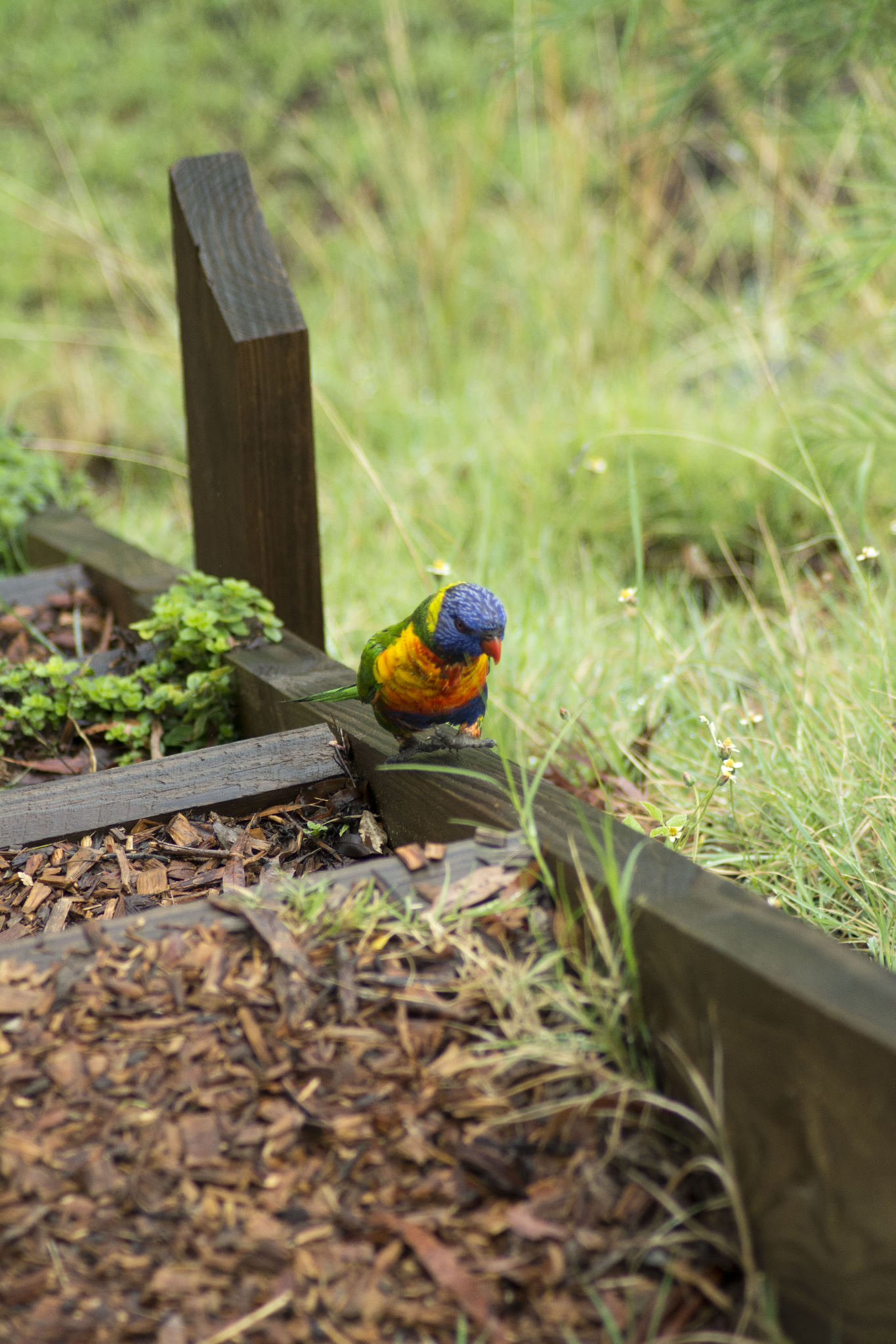 Rainbow Lorikeet using the stairs