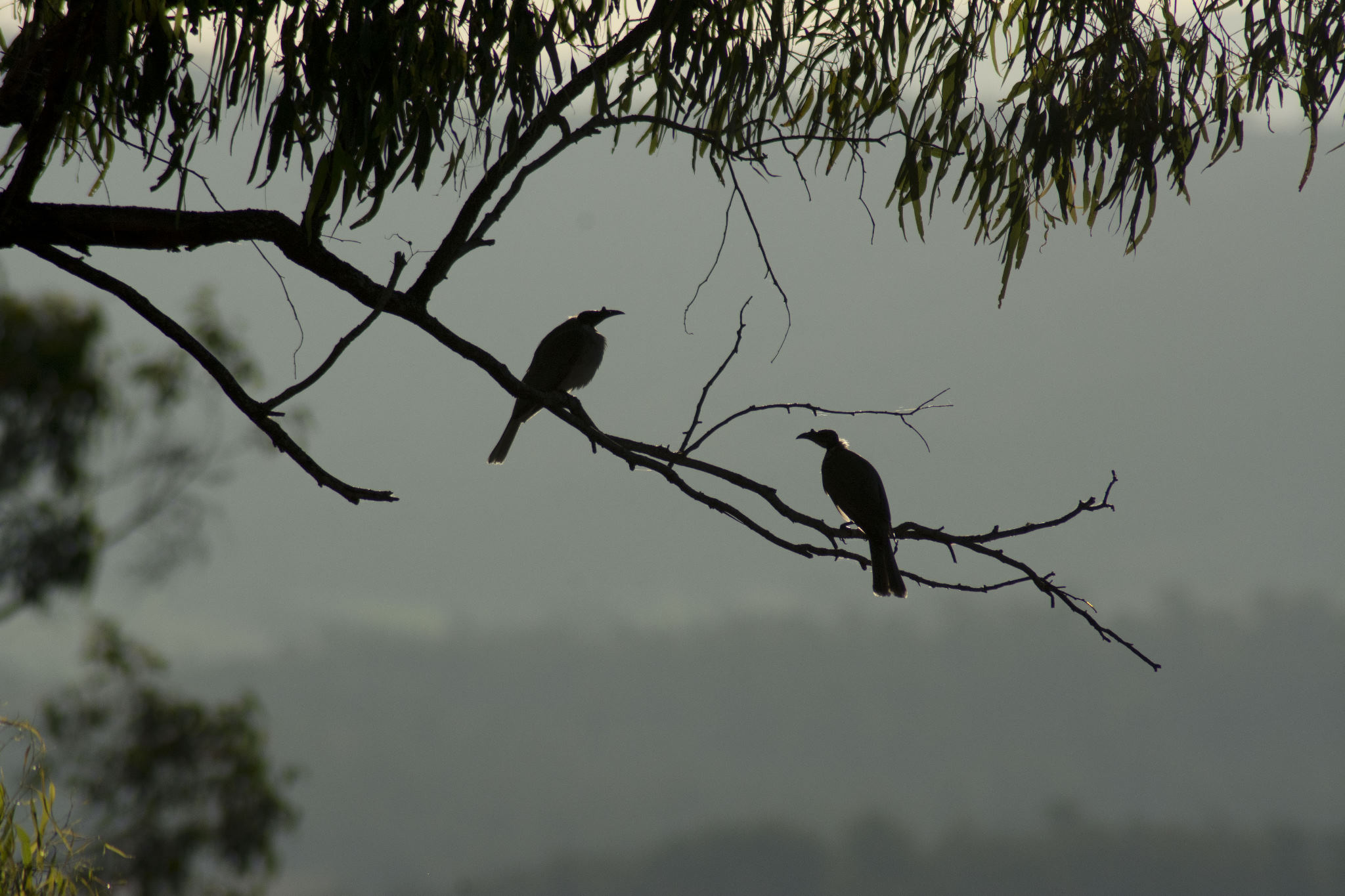 Noisy Friarbirds in the afternoon sun