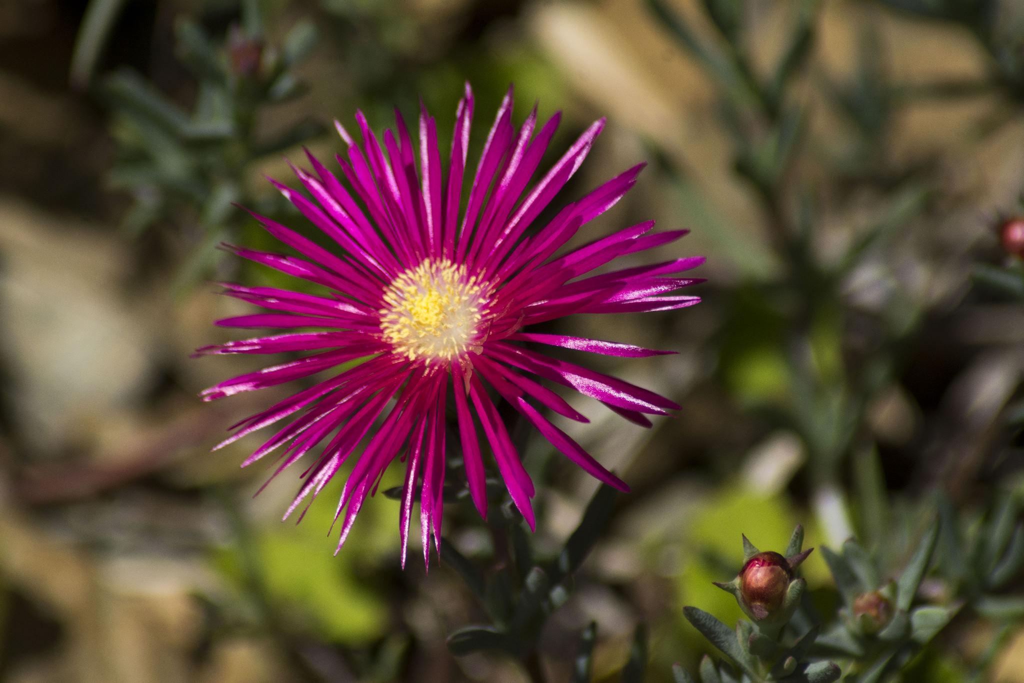 Flowering Pigface