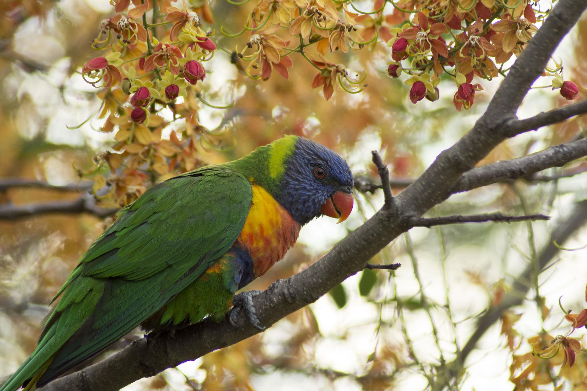 Rainbow Lorikeet in our Cassia brewsterii