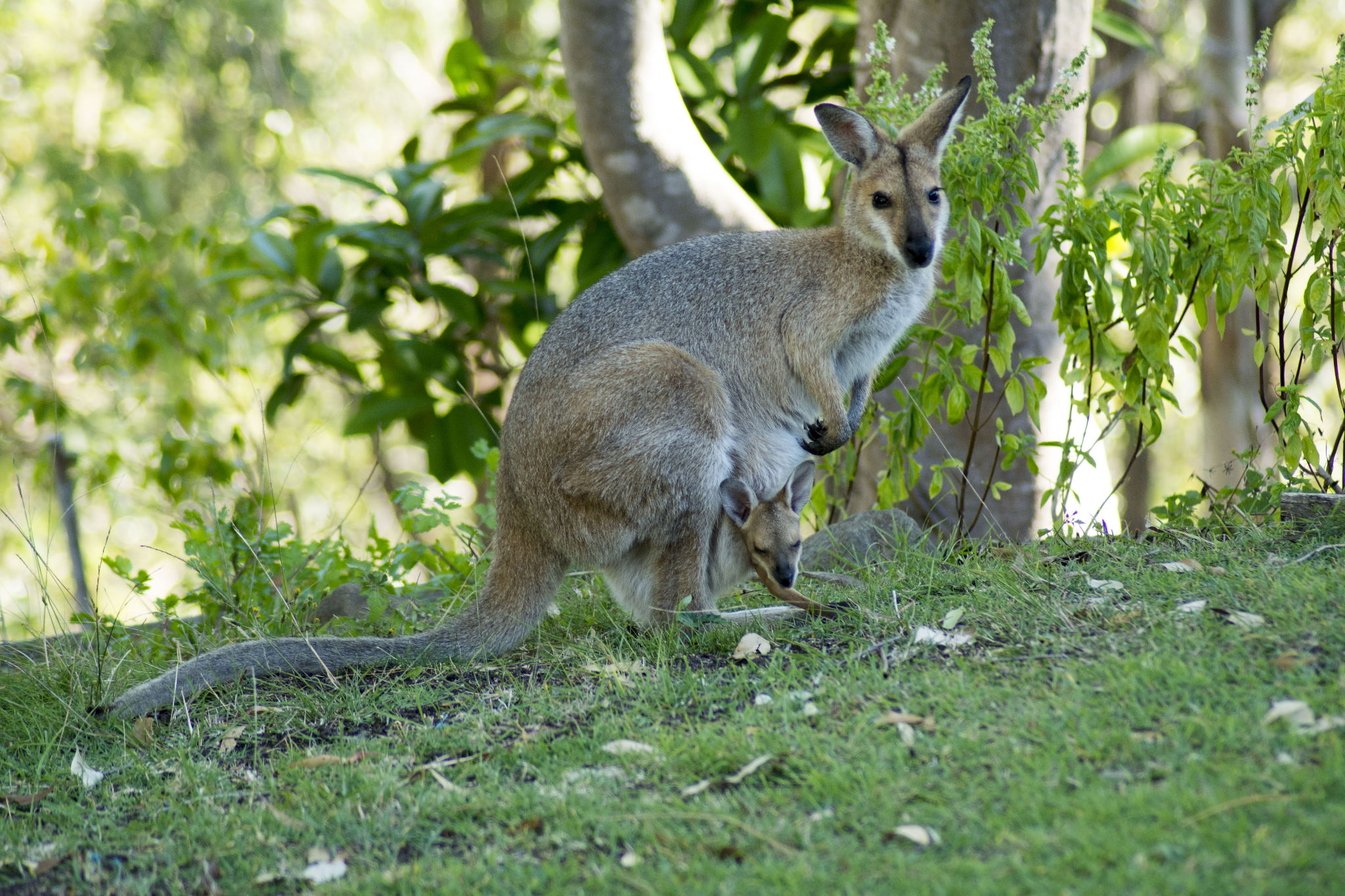 Red-necked Wallaby and Joey