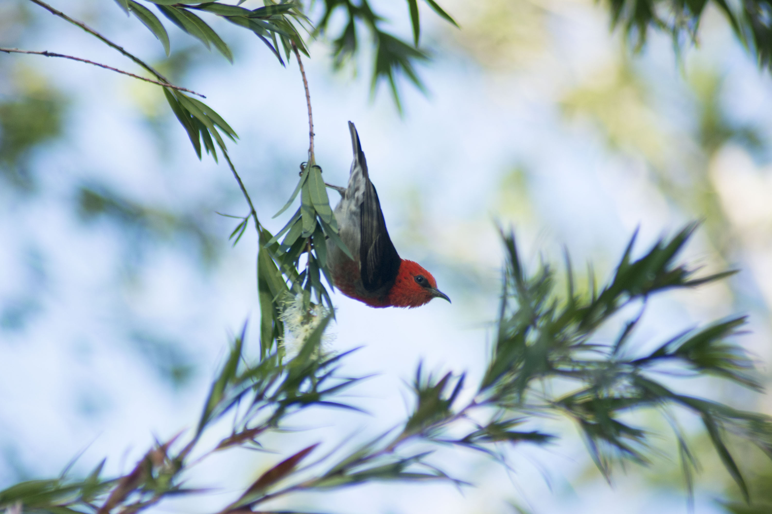 Scarlet Honeyeater - male