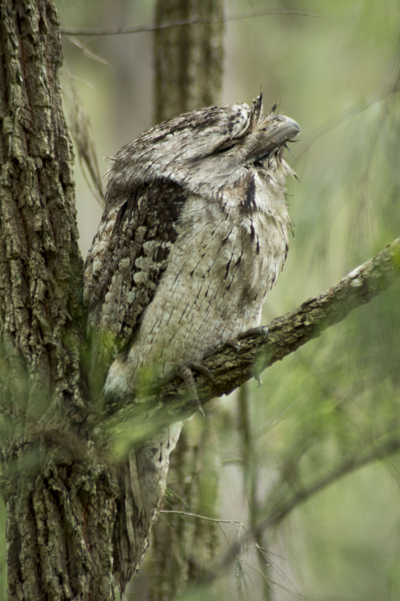 Tawny Frogmouth - female