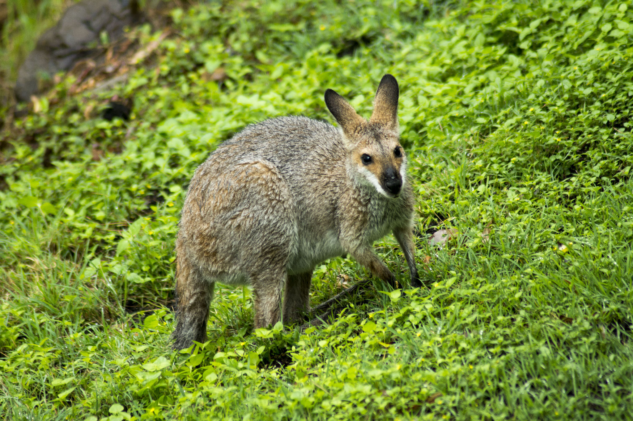 A very wet red-necked Wallaby