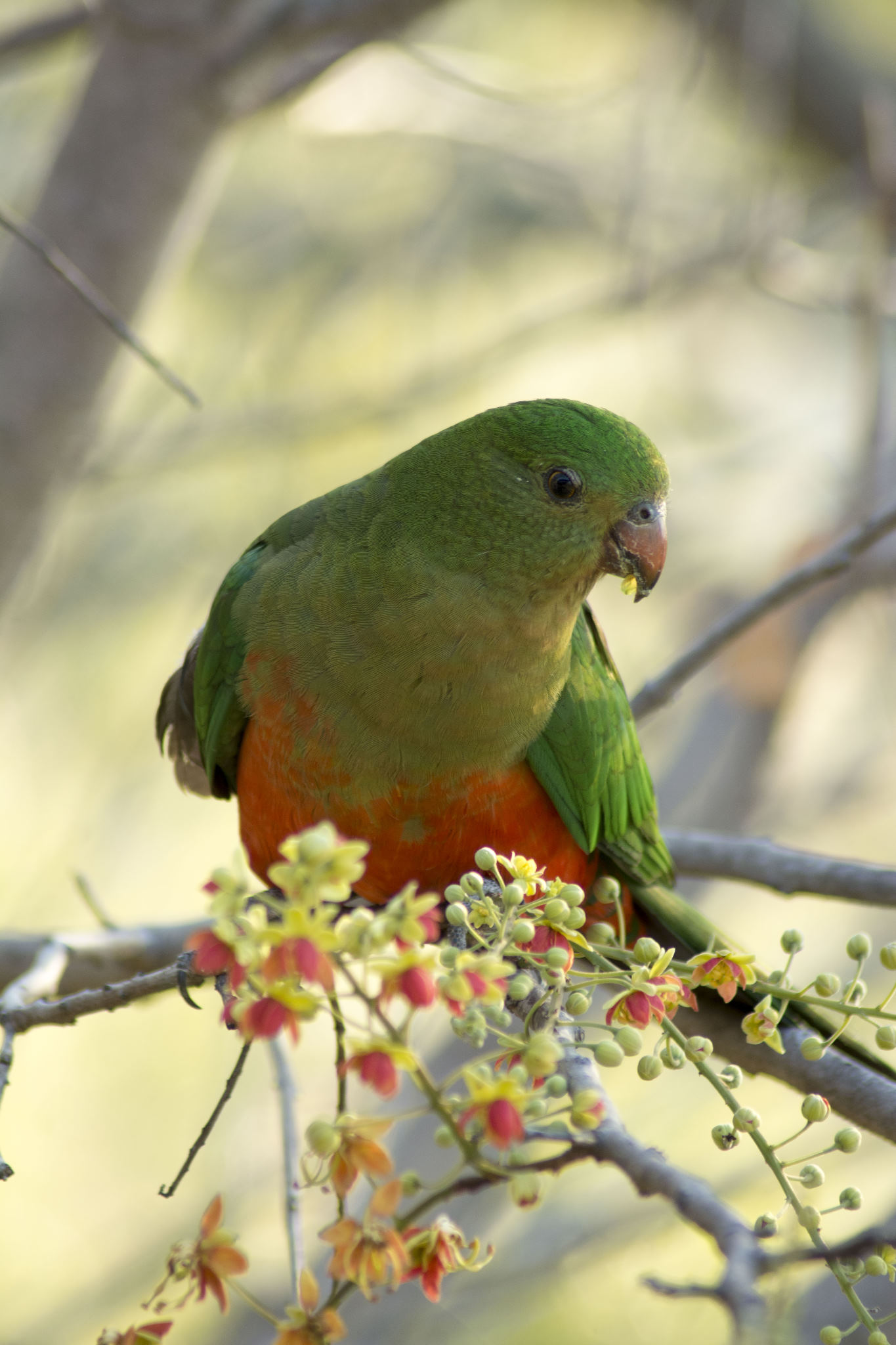 Australian King-Parrot - female
