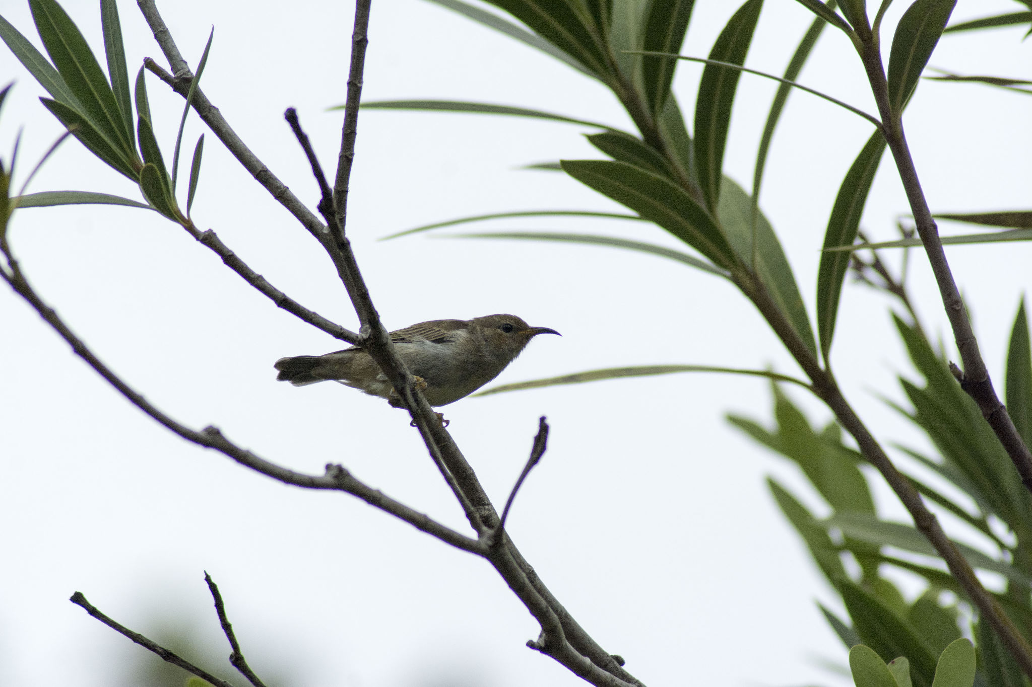 Scarlet Honeyeater - female