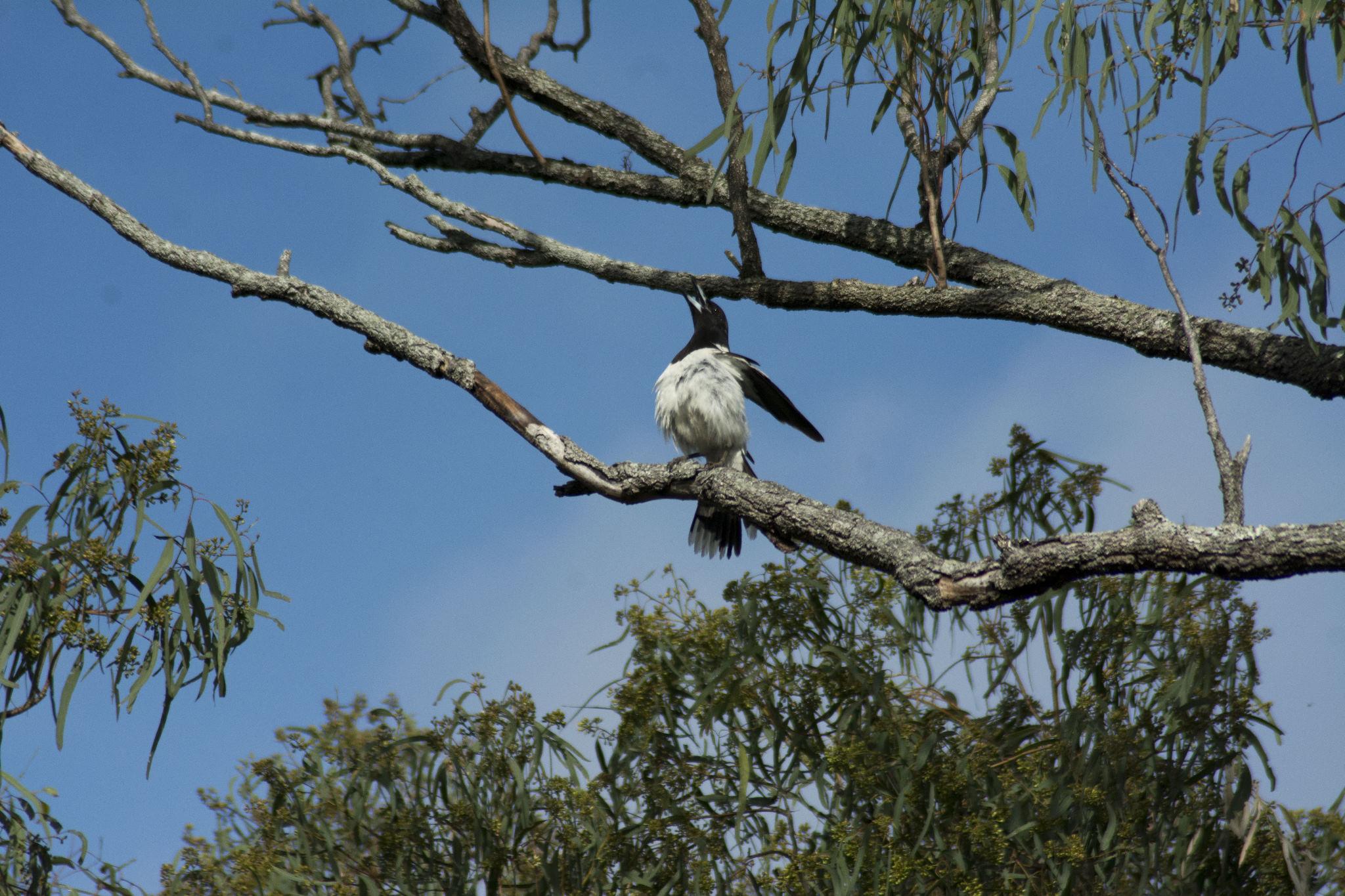 Singing Butcherbird