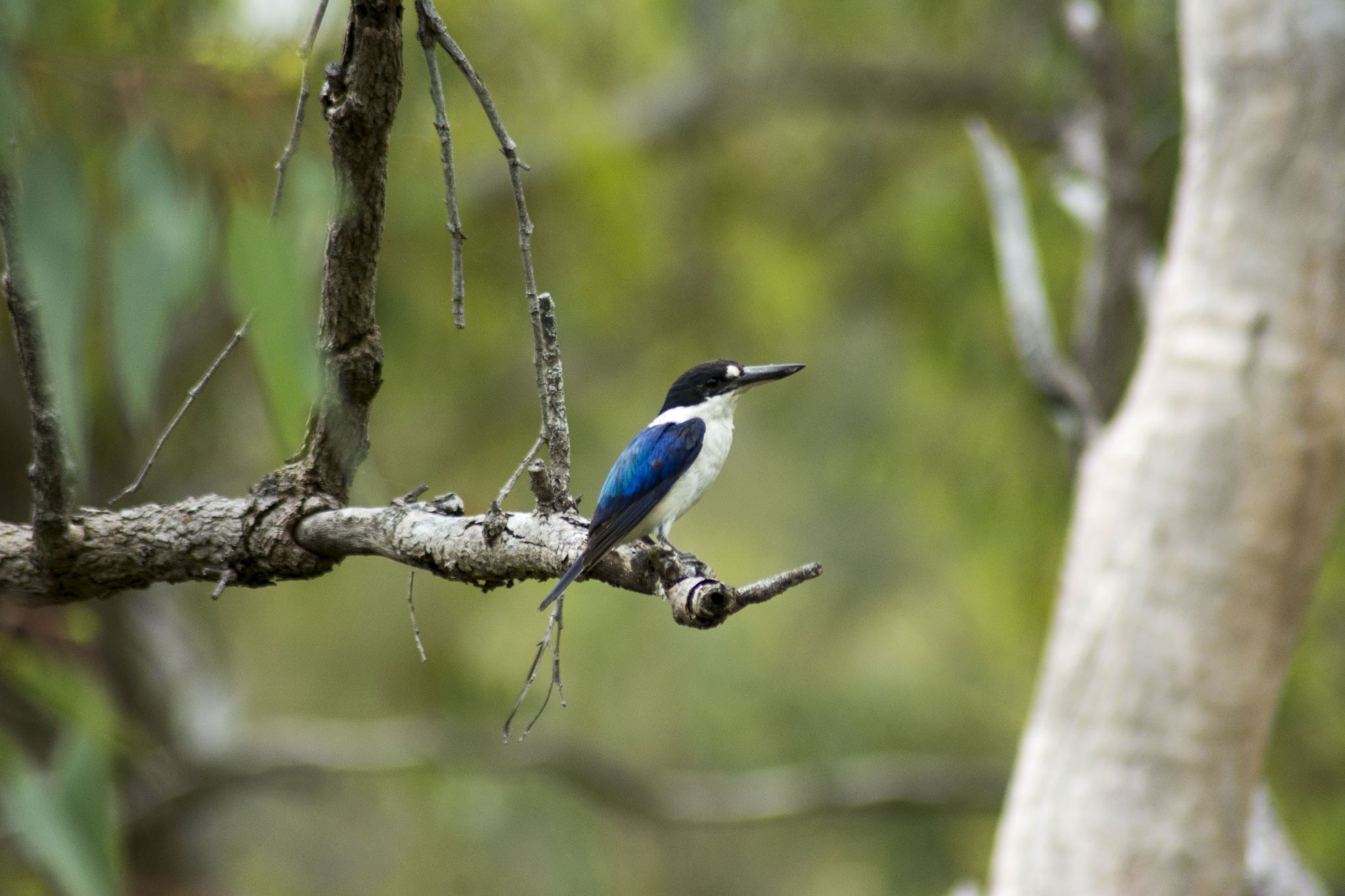 """Forrest"" the Forest Kingfisher"